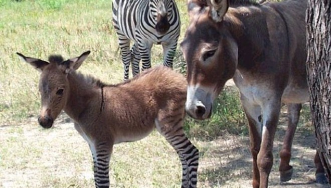 Măgăruşul-zebră