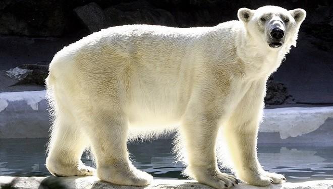 Wrangel – insula mamuţilor şi maternitatea urşilor polari