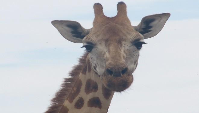Girafa, singurul animal care îşi poate curăţa urechile cu limba