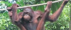 """19 august, ziua mondiala a urangutanilor, """"verişorii"""" oamenilor"""
