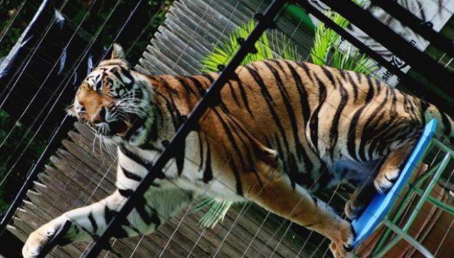 Cu sau fără animale sălbatice la circ?