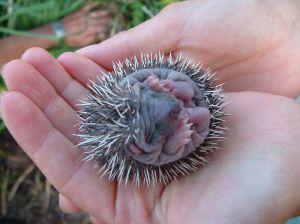 arici bebe