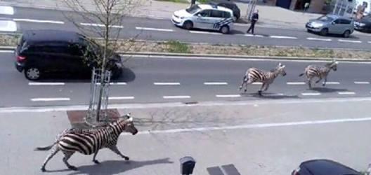 zebra bxl
