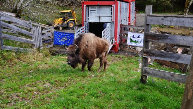 9 zimbri din Suedia învață să trăiască în sălbăticie în Munții Țarcu din Caraș Severin
