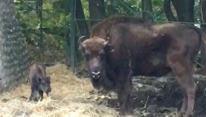 Roty jr., primul zimbru născut în captivitate la Reșița, are un frate