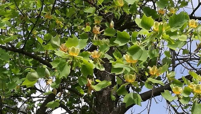 Lalelele înfloresc și… în copaci. Nu numai la Timișoara