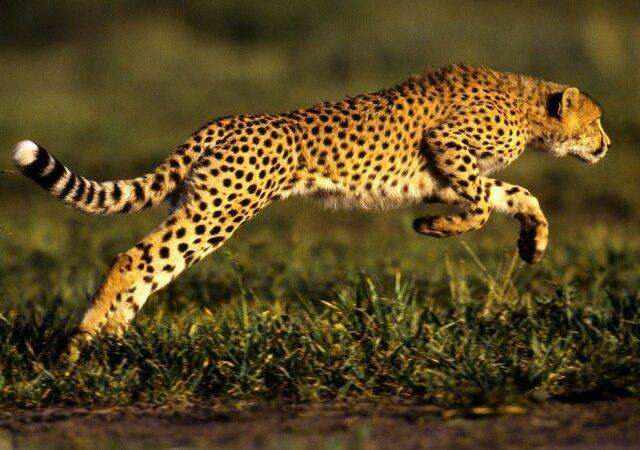 Ghepardul, un Lambourghini printre animale