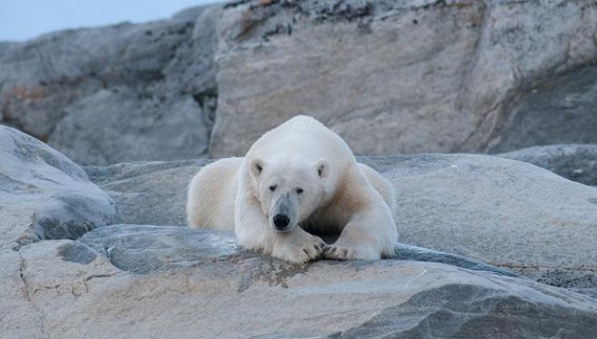 Urșilor polari li se topește viitorul!