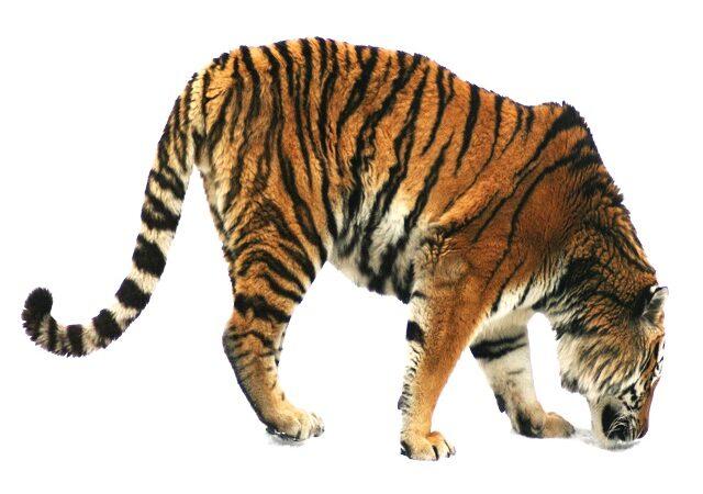 Alarmă la Paris! Un tigru se plimbă liber prin oraș