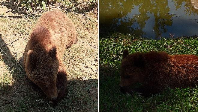 Bim și Bam, puii de urs salvați din Pădurea Bogății