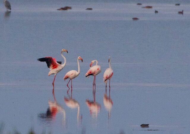 Apariție neobișnuită în Delta Dunării: patru păsări flamingo
