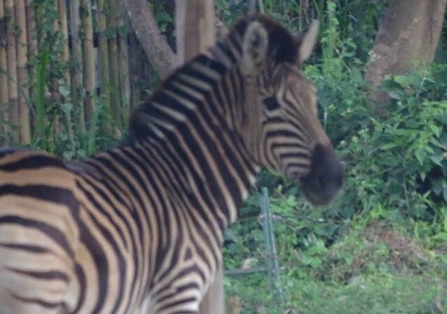 Noi locuitori la ZOO Timi șoara : două zebre  și un eland