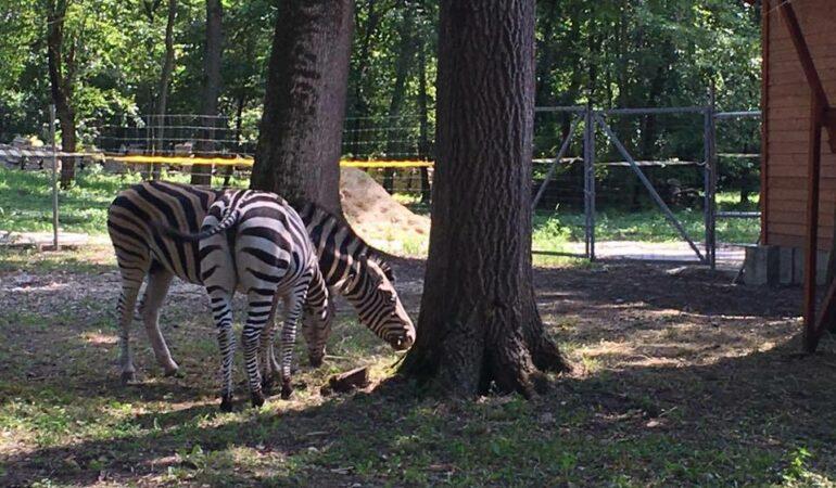 La Zoo Timișoara se omoară zebrele