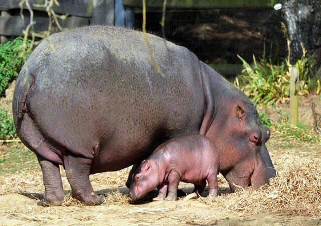 Este laptele de hipopotam roz?