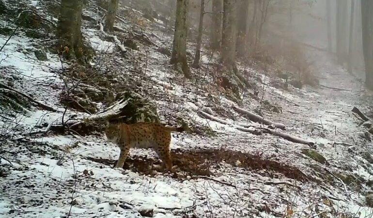 Apariție inedită într-o pădure din Banat. A fost filmat un râs