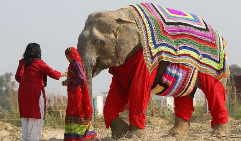 Elefanții din India primesc pijamale colorate pentru a-i proteja de frig!