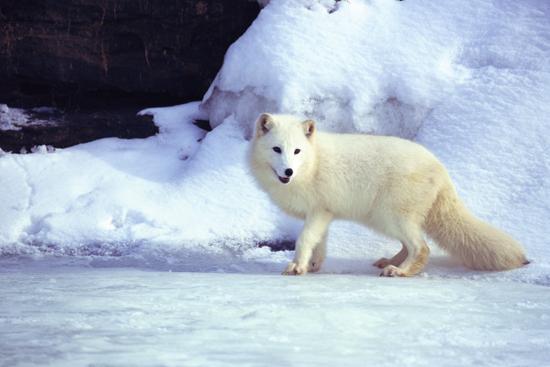 O vulpe polară, la plimbare prin Constanţa