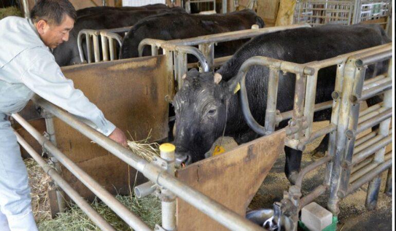 A murit Kaga, prima vacă clonată din lume!