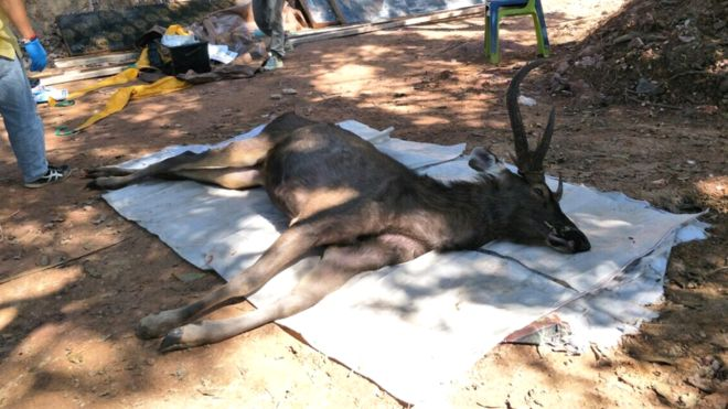 Un cerb cu 7 kg de plastic în stomac, găsit mort în Thailanda