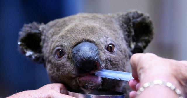 Koala salvat din incendiile din Australia a murit în spital