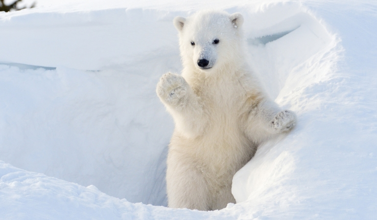 Curiozități despre urșii polari. De la Fram la Pantalaimon