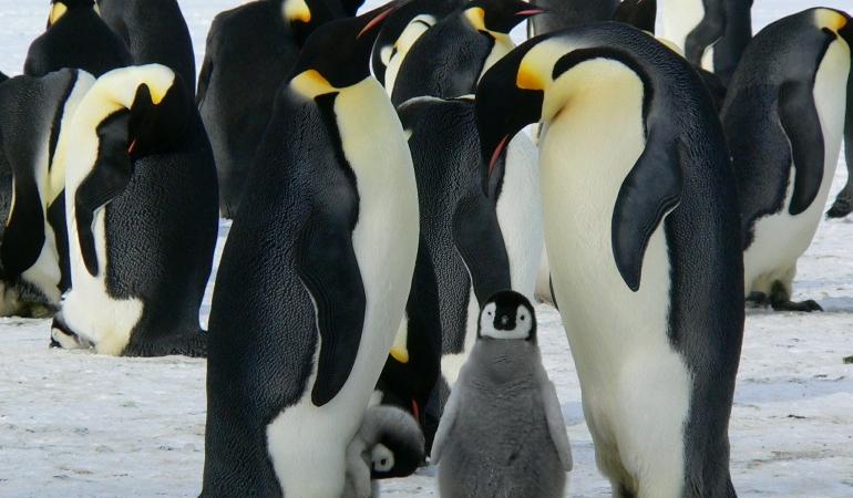 Curiozități despre pinguini. Mumble, cel mai tare dansator