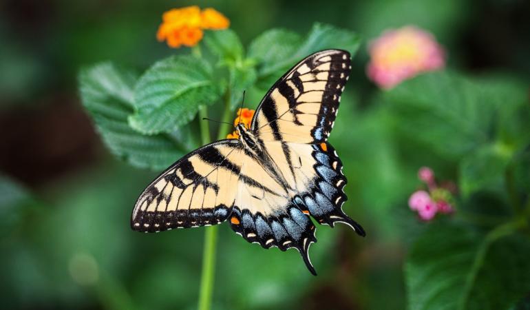 Lepidopterophobia – frica de fluturi