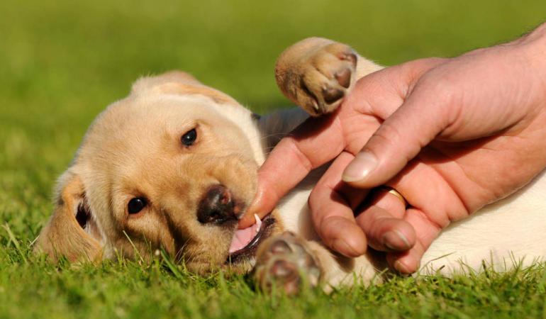 Învață-ți câinele să nu mai muște. Trucuri pentru a vă dresa cățelul