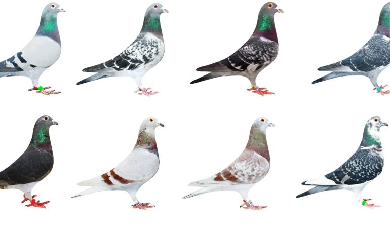 In lume exista 400 de milioane de porumbei. Aflați de ce prefera porumbeii traiul la oraș