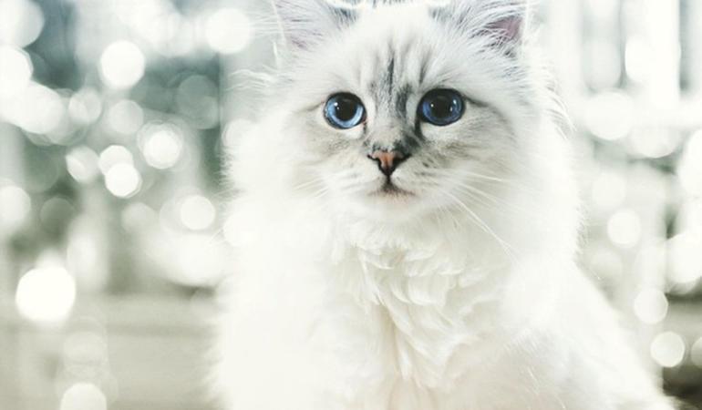 Choupette – cea mai bogată pisicuță. Povestea moștenitoarei averii lui Karl Lagerfeld