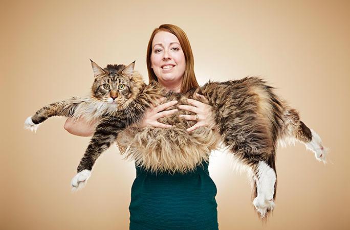 Maine Coon, cea mai mare pisică domestică