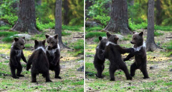 Trei pui de urs, fotografiați pe ascuns în timp ce dansau