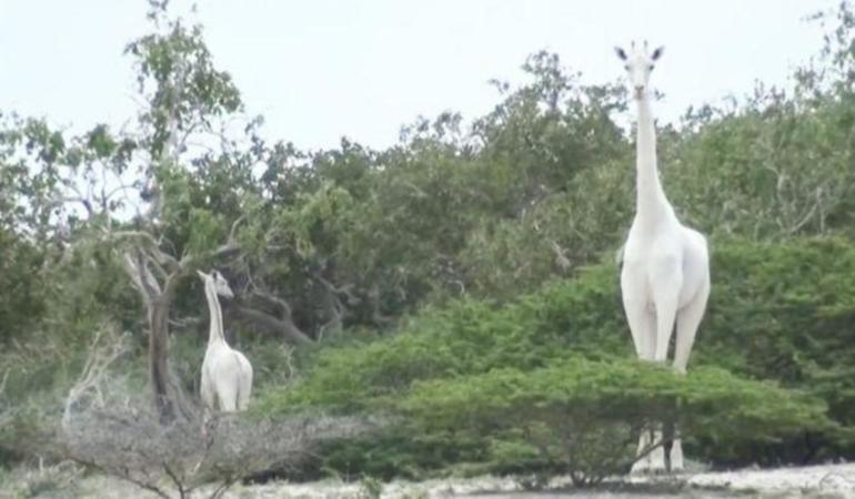 Kenya – două girafe albe, unice, omorâte de către braconieri
