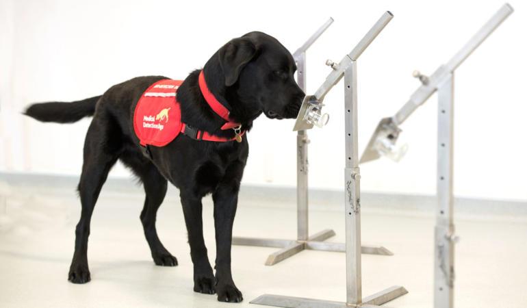 Ar putea fi câinii utilizați pentru depistarea coronavirusului?