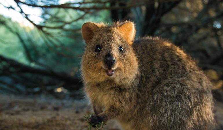 Quokka – cel mai fericit animal de pe Pământ