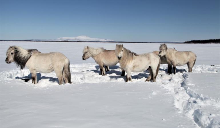 Reni, cai și bizoni în Arctica. Ar putea începe repopularea
