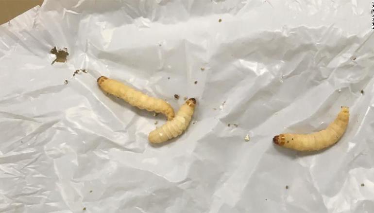 Natura se apără de poluare – O specie de omizi mănâncă plastic