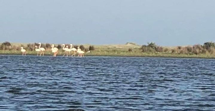 Apariții exotice: Flamingo în Delta Dunării!