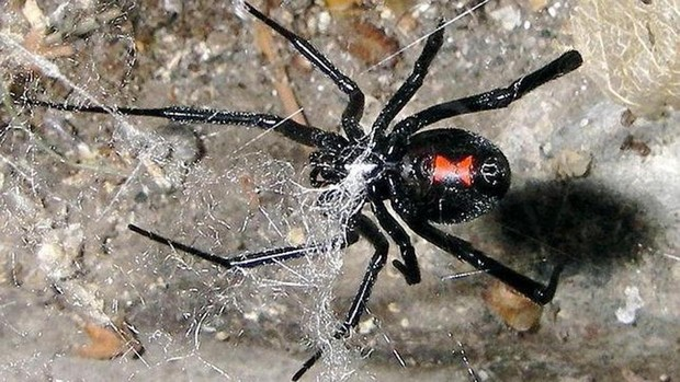 S-au lăsat înţepaţi de văduva neagră pentru a deveni Spiderman