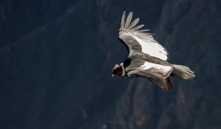 Pasărea care zboară zeci de km fără a da din aripi