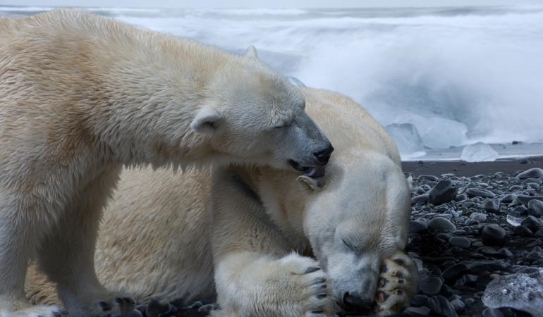 Urșii polari sunt puși în pericol de schimbările climatice