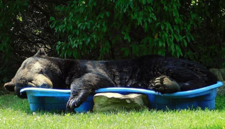 Un urs în vacanță. Acesta a dormit în piscina unor copii