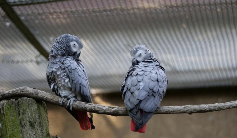 Papagalii care înjurau, restricționați pentru limbaj obscen