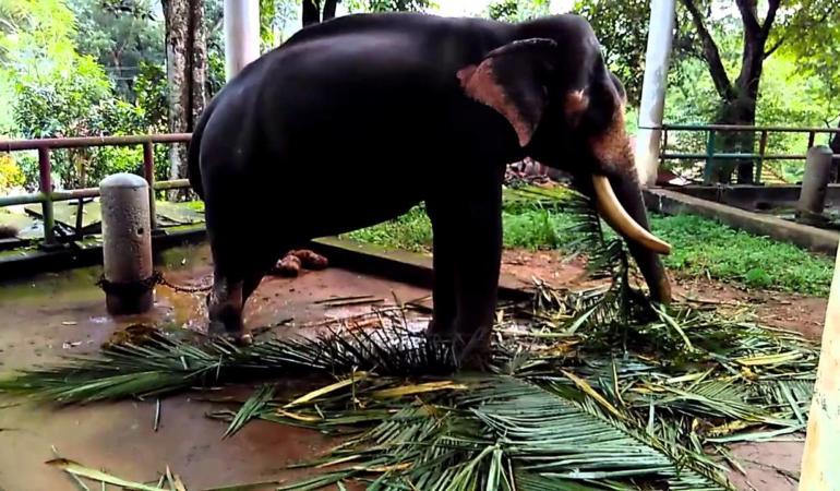 Cel mai bătrân elefant, pregătit să intre în Cartea Recordurilor