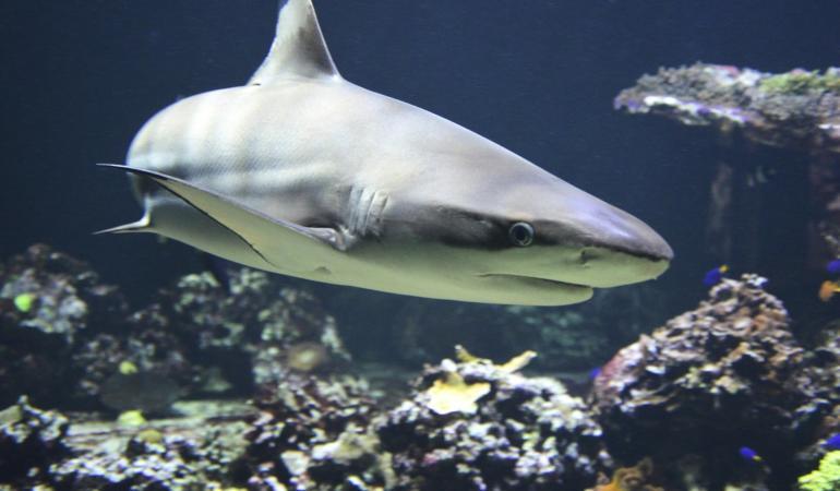 Galeophobia – frica de rechini