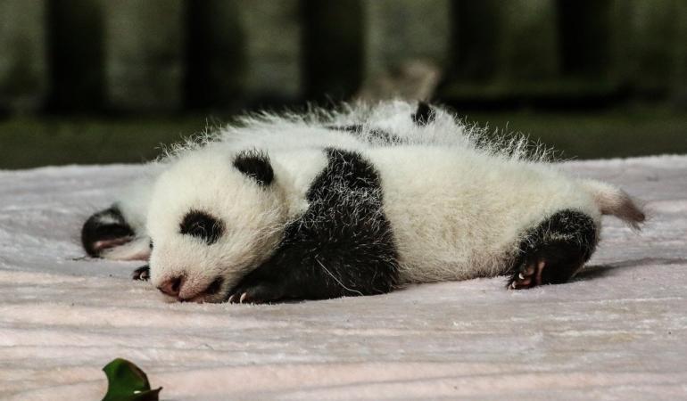 Poveste cu panda. Cum vin pe lume aceste creaturi adorabile