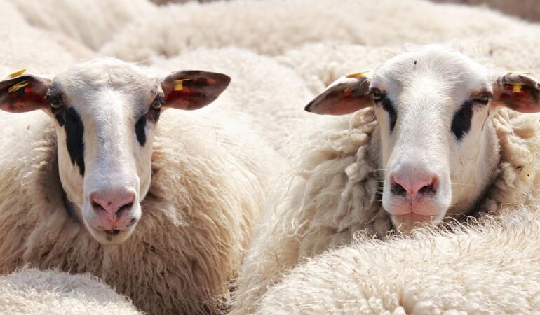 EXPRESIA SĂPTĂMÂNII – Să revenim la oile noastre
