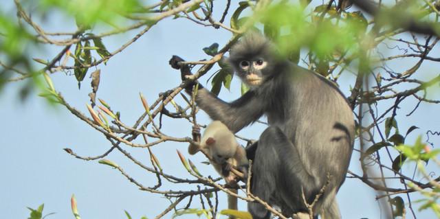 o nouă specie de maimuță