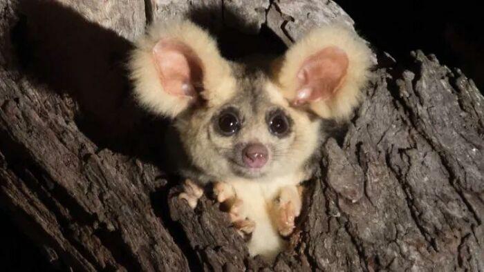 Există 3 specii de veverițe marsupiale