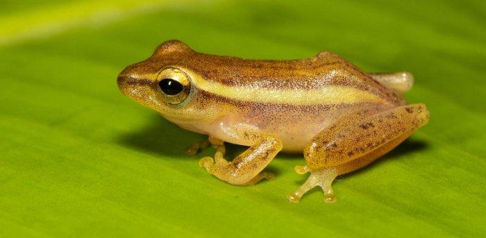 A fost descoperită o nouă specie de broască. Priviți cât de mică este
